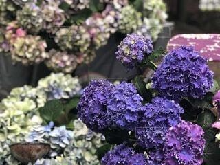 自然,風景,花,紫,景色,紫陽花,ライラック,草木,日中,ガーデン