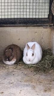 猫,動物,うさぎ,ハムスター,地面,マウス,ウサギ,野うさぎ,バニー