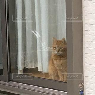猫,動物,屋内,窓,ドア,可愛い,茶トラ,偶然,開く,白いカーテン