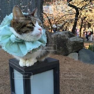 猫,動物,屋外,神社,可愛い,招き猫,人気者,ご利益,天神様,人懐っこい