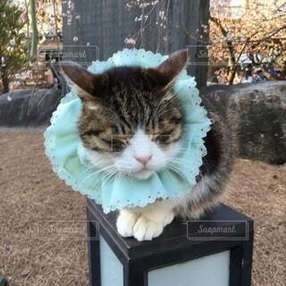 水色の襟巻が可愛い天神様の人気者の招き猫ちゃんの写真・画像素材[4853491]