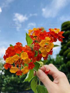赤とオレンジのミックスカラーの可愛いお花を持って空に掲げるの写真・画像素材[4872812]