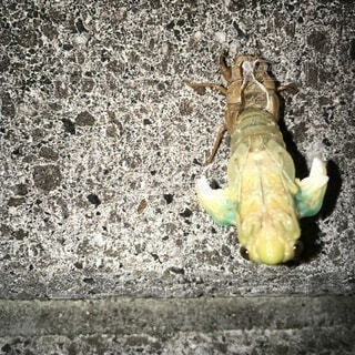 自宅外壁に偶然のせみの孵化に気づきの写真・画像素材[4904649]