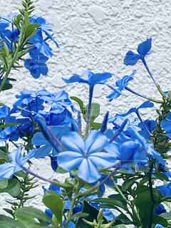 初めて見る綺麗な涼しげな水色のお花の写真・画像素材[4908018]