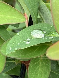 雨の水滴が葉にたっぷりと溜まっての写真・画像素材[4941905]