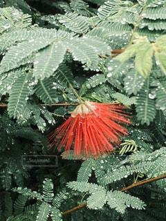 赤い可愛いお花と葉に雨の水滴が綺麗の写真・画像素材[4941922]
