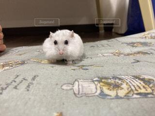 動物,ハムスター,屋内,マウス,ネズミ
