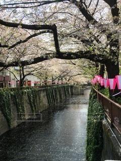 花,春,桜,絶景,屋外,ピンク,川,水面,樹木,お花見,目黒川,和風,せつない,草木,散る桜