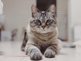 猫,動物,室内,ペット,子猫,癒し,mix,飼い猫,ネコ科,完全室内飼い