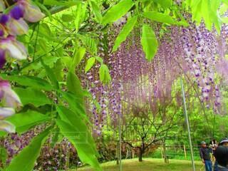 藤の花,草木,あしかがフラワーパーク,ガーデン
