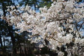 花,屋外,樹木,桜の花,さくら,ブロッサム