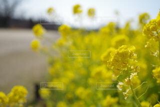 花,黄色,草木,マスタード
