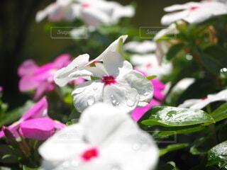 自然,花,雨,太陽,水滴,景色,雨上がり,天気