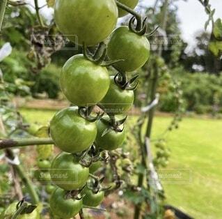 トマトの写真・画像素材[4873239]