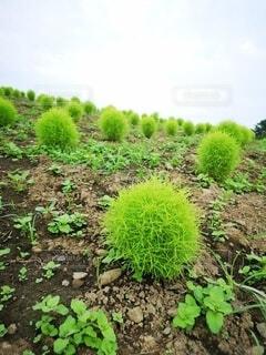 風景,公園,花,森林,屋外,緑,景色,外,コキア,草木,ガーデン,低木,こきあ,地被