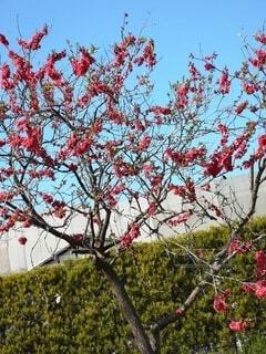 空,花,絶景,木,屋外,ピンク,赤,梅,樹木,和,草木