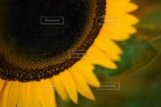 花,夏,ひまわり,黄色,景色,元気,残暑,草木,季節の変わり目,クローズ アップ