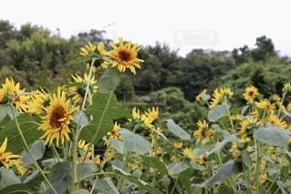 空,花,屋外,ひまわり,樹木,草木,花粉