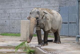 動物,屋外,象,地面,マンモス,インド象,アジアゾウ