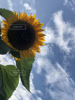 空,花,ひまわり,雲,草木
