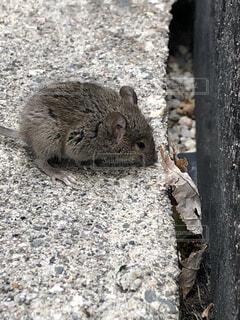 動物,ハムスター,屋外,リス,地面,カナダ,マウス