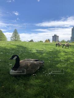 空,動物,鳥,屋外,緑,草原,景色,草,鴨,カナダ,ガチョウ,バンクーバー,水鳥