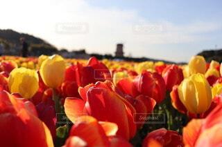 花,植物,風車,チューリップ,果物,草木