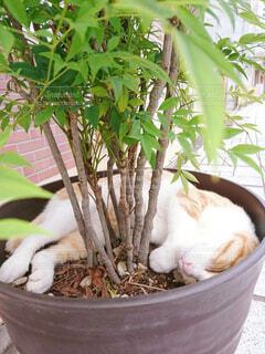 猫,動物,緑,植物,白,かわいい,休憩,寝る,眠る,外,道,リラックス,癒し,プランター,可愛い,みどり,眠い,大好き,おやすみ,ぐっすり,お休み,茶,草木,気持ちいい,ねむい,休憩中,いやし,ネコ,ボウル,ちょうどいい,グッドナイト,りらっくす