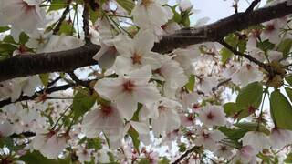花,春,樹木,草木,桜の花,さくら,ブルーム,ブロッサム