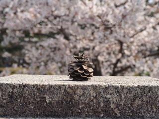 花,桜,屋外,岩,地面,石,ノスタルジック,セメント,松かさ,レッジ