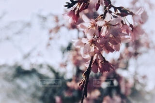 春の桜の写真・画像素材[4798490]