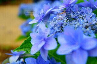花,春,屋外,あじさい,青,葉,ラベンダー,紫陽花,虫,昆虫,カマキリ,草木,お出かけ,ブルーム,フローラ