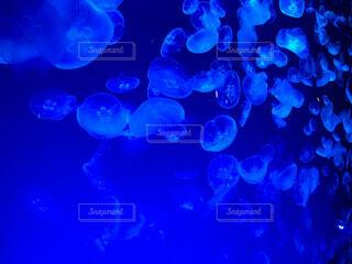 動物,屋内,青,水族館,葉,生き物,クラ ゲ,腔腸動物,マジョレルブルー,海洋無脊椎動物,エレクトリックブルー