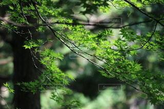 自然,屋外,葉,もみじ,日光,景色,光,樹木,楓,新緑,草木,カエデ