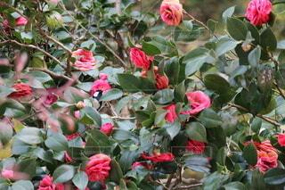 風景,花,鳥,赤,椿,小鳥,草木,ガーデン,シジュウカラ,フローラ