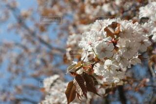 花,春,青空,しだれ桜,景色,枝垂れ桜,草木,桜の花,さくら,ブロッサム