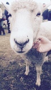 動物,屋外,羊,牧場,ひつじ,草,ペット,ふれあい,ドアップ