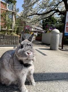 桜,動物,うさぎ,屋外,樹木,お花見,地面,ネザーランドドワーフ,ウサギ,決めポーズ