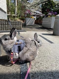 動物,うさぎ,屋外,散歩,お花見,地面,兄弟,姉妹,お散歩,ネザーランドドワーフ,ウサギ