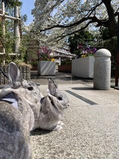 桜,動物,うさぎ,屋外,散歩,樹木,お花見,兄弟,姉妹,お散歩,ネザーランドドワーフ,ウサギ,バニー