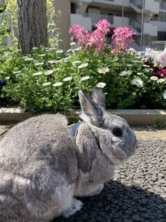 花,動物,うさぎ,屋外,散歩,地面,お散歩,ネザーランドドワーフ,ウサギ,バニー