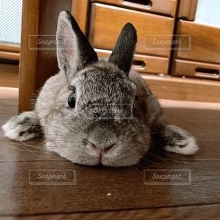 動物,うさぎ,屋内,木目,見つめる,ぐーたら,ウサギ,バニー