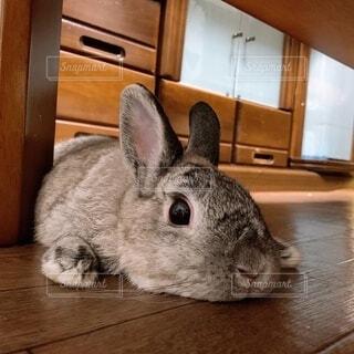 動物,うさぎ,屋内,床,木目,ぐーたら,ネザーランドドワーフ,ウサギ,バニー