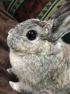 動物,うさぎ,屋内,グレー,目,見つめる,ネザーランドドワーフ,ウサギ,バニー