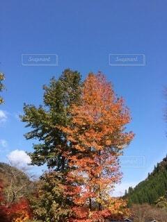 風景,空,秋,屋外,樹木,草木,カエデ