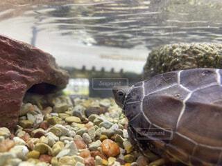 自然,動物,魚,水族館,葉,岩,カメ,ウミガメ,爬虫類,亀,クサガメ,ゼニガメ,ケンプヒメウミガメ