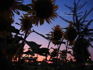 空,花,夏,植物,ひまわり,青,夕焼け,夕暮れ,黄色,夕方,オレンジ,草,向日葵,グラデーション,黄,日暮れ,大輪,ヒマワリ