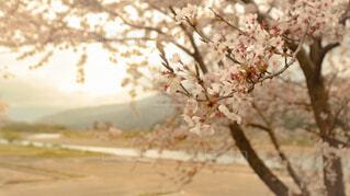 花,春,絶景,川,満開,滋賀県,桜の花,4月,さくら,絶景スポット,桜の時期,2021年の桜