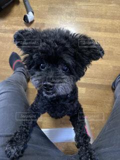 犬,動物,黒,テラス,プードル,トイプードル,愛犬,つぶらな瞳