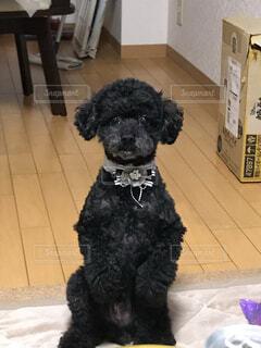 犬,動物,黒,床,座る,プードル,トイプードル,愛犬,テリア,フローリング,つぶらな瞳,得意技,可愛い瞬間